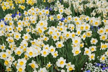 Blumenbeet mit gelb-weißen Narzissen und Stiefmütterchen
