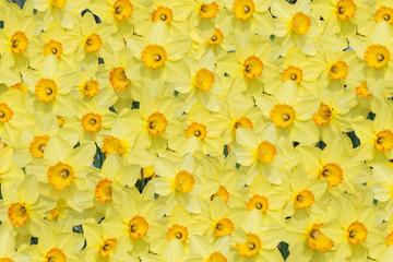 Frühlings-Hintergrund mit gelben Narzissenblüten