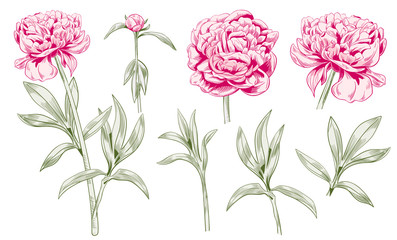 Set of peony: monochrome colored contour: red flowers, bud, green stems, leaves on white background. Botanical illustration for design. Digital draw in engraving vintage style, etching, vector