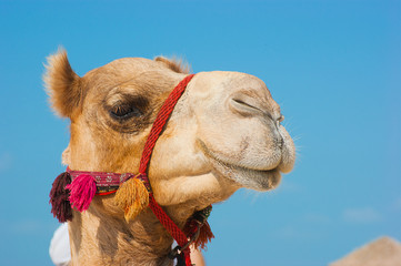 Papiers peints Chameau The muzzle of the African camel