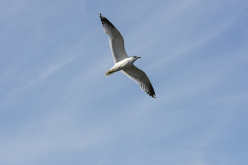 seagull in fly on the sea in Eggum in Norway