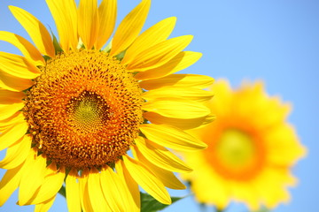 Sunflower field with clear summer sky