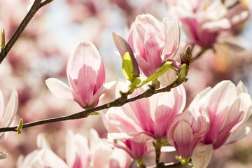 blooming magnolia flowers