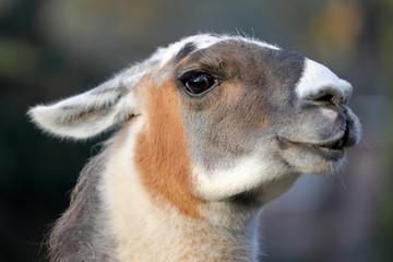 Lama close-up portrait
