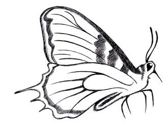 farfalla disegno a penna