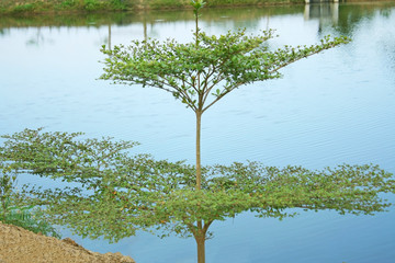 Beautiful little terminalia ivorensis tree near river