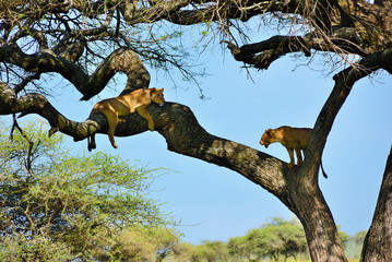 Acacia tree and lionesses, Tanzania, Africa