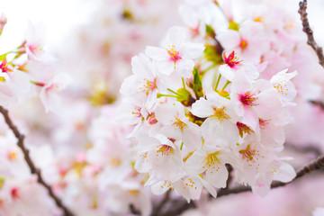 Sakura cherry blossom close up on tree branch