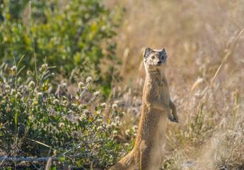 Yellow mongoose (red meerkat)  on a bush tree, Okaukeujo Etosha National Park, Namibia