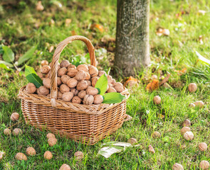 Walnut harvest. Walnuts in the basket on the green grass.