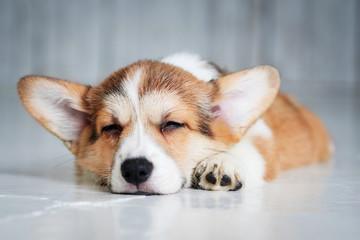 cute little puppy sleeping on the floor, closeup portrait