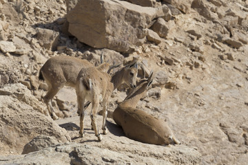 three young mountain goats rest among rocks in the mountains