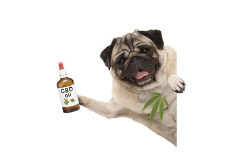 cute smiling pug puppy dog holding up bottle of CBD oil and marijuana hemp leaf, isolated on white background