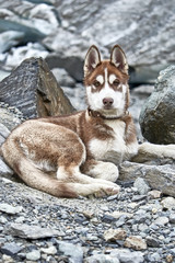 Siberian husky puppy red color
