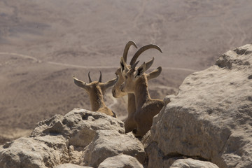 three young mountain goats look at the Judean desert sitting among the stones high on the mountains