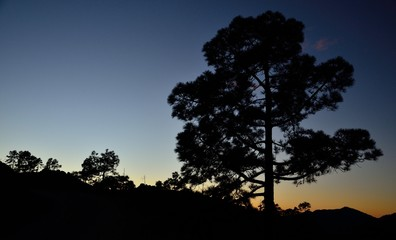Large canary pine, nightfall in natural park of Pilancones, Canary islands