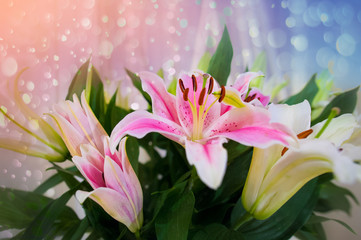 Wall Mural - Pink lilly in the garden and tone color pink,Lilly flowers (shallow dof) Natural