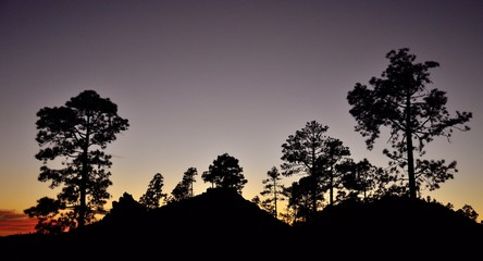 Pine forest at nightfall, Pinus canariensis, Natural park of Pilancones, Canary islands