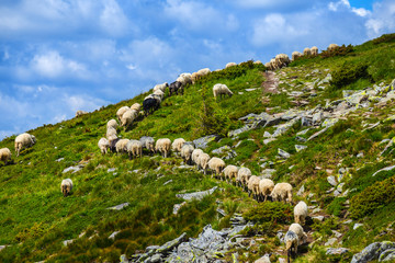 sheep herd walk on a green hill slope to a mountain pass