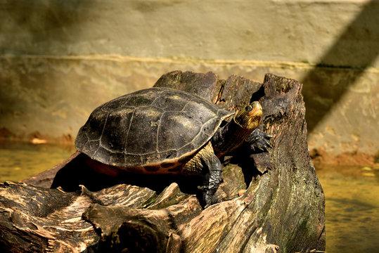 Turtles sunbathing in the pond