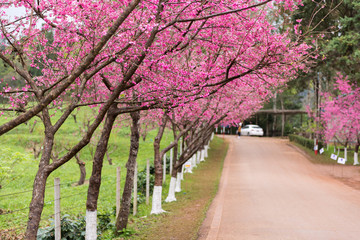 Beautiful Cherry blossom trees roadside at Ang Khang Hill, Chiang  mai, Thailand