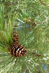 Pinecones in tree