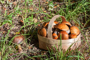 Red and orange mushrooms in the birchbark basket in forest on the land