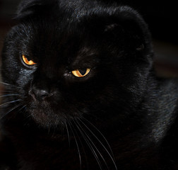 a black cat with the yellow eyes