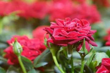 Beautiful red roses.