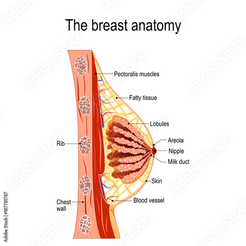 Breast anatomy\