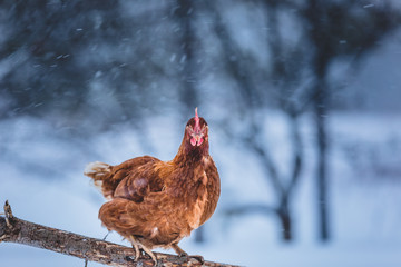 Domestic Eggs Chicken on a Wood Branch during Winter Storm.