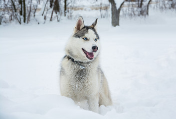 A dog of Siberian husky sits on a snow