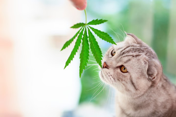 Scottish fold cat sniffs green leaf of marijuana in hands. Portrait close-up on blurred background with leaf cannabis