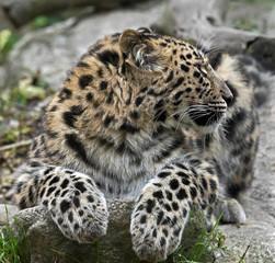 Amur leopard. Latin name - Panthera pardus orientalis