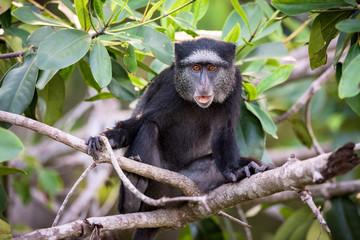 Macaco azul de Angola (Cercopithecus mitis mitis). Uma sub-espécie endémica de Angola