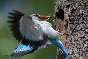Woodland kingfisher feeding its offspring with an insect