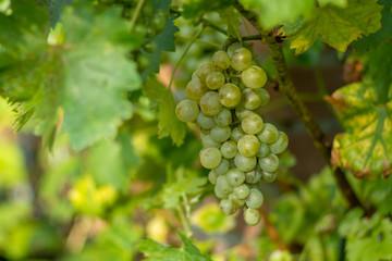 White wine grape in the vineyard