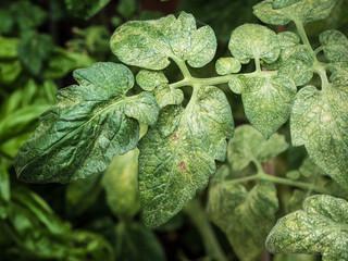 top view of spider mites sucking on tomato leaf