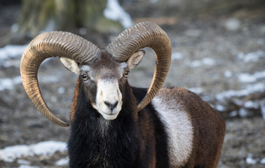 beautiful portait of male sheep with horns looking at camera
