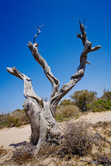 Ancient tree in Chrissy island, a protected natural reserve  15 km south of Crete, one of Europe's southernmost Mediterranean islands, Greece.