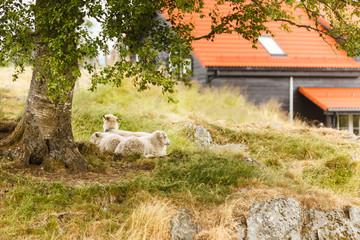 Sheeps on rock hill