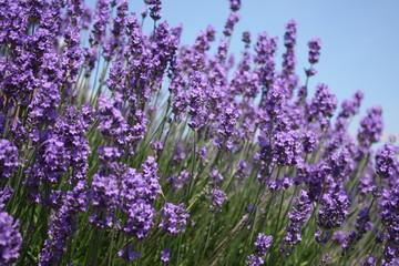 Spoed Fotobehang Lavendel lavande