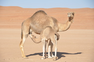 Camel Mother and son