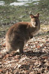 portrait of cute red necked wallaby kangaroo