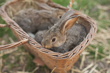 Close up of rabbits in basket
