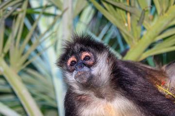 Portrait of a wild spider monkey male sitting on a betel palm tree.