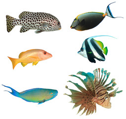 Tropical reef fish isolated on white background. Sweetlips, unicornfish, snapper, bannerfish, parrotfish, lionfish