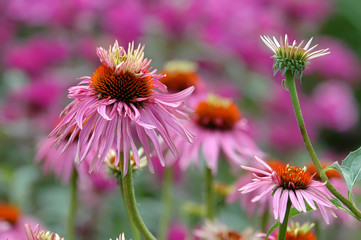 Colorful pink coneflowers with beautiful pink and green background.