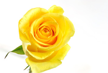 Fototapete - Single yellow rose isolated on the white background