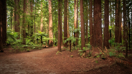 Redwoods and Tree Ferns